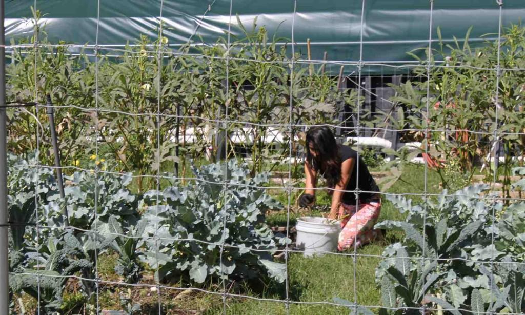 A student taking care of the all-organic garden by the residence halls.