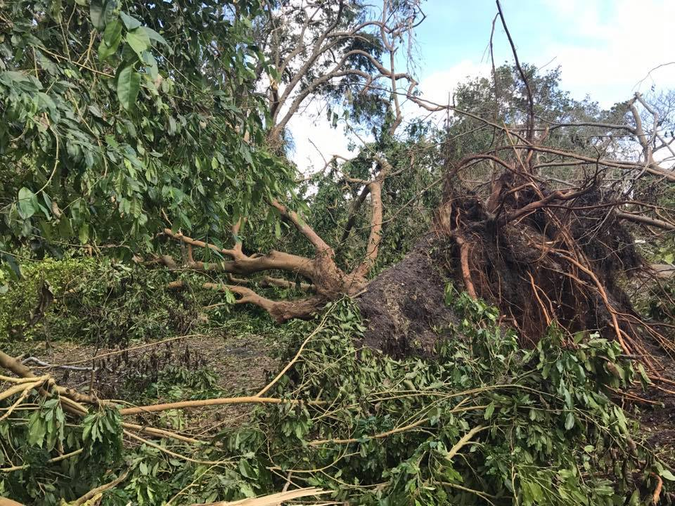 Tree+uprooted+in+a+backyard+in+Florida+as+a+result+of+100+mph+winds.+